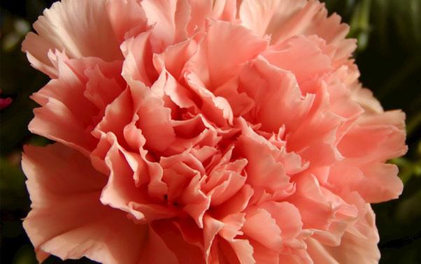 Flori de garoafa in decoratiunile de nunta